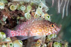 BD-130401-Tulamben-8671-Cirrhitichthys-oxycephalus-(Bleeker.-1855)-[Coral-Hawkfish].jpg